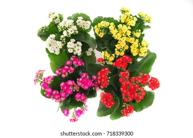 Composition of beautiful and bright kalanchoe , background,  flowers and pots, red , pink, yellow and white flowers, pink, red, yellow and white buds, composition of kalanchoe, four pots.