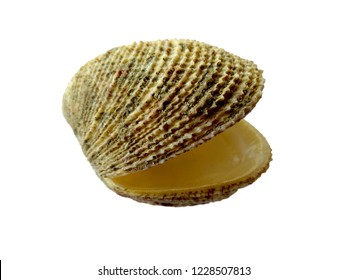 Composition of exotic sea shells on a white background. set of various mollusk shells isolated on white background. Oyster with white background. ( Shell, Oyster, Scallop or Keong Tiram, Kerang Laut )