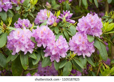 Composition of five pink rhododendron flower with buds and leaves