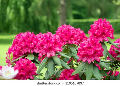 Composition of five red rhododendron flower on green park background