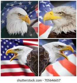 Composition of four pictures of four bald eagles and United States of America flag on background