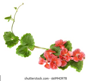 Composition of fresh green leaves of the ground cover and bright pink flowers of geranium isolated on white
