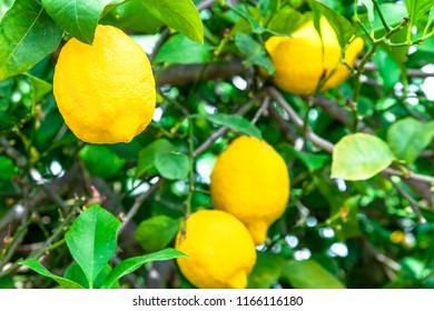 Composition of lemons in a branch of a lemon tree