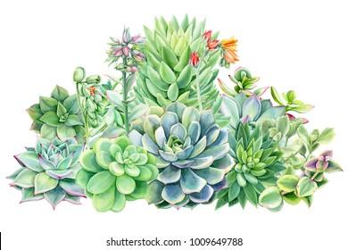 composition of succulents, green bouquet, echeveria watercolor illustration, botanical painting