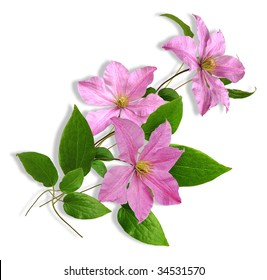 composition three flowers pink clematis on the white background