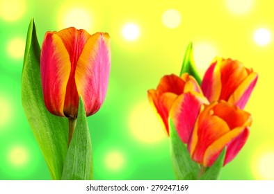 Composition of two-tone tulips on green stems