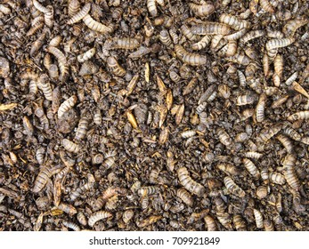 Composting animal manures with Black Soldier Fly larvae as Organic fertilizer.