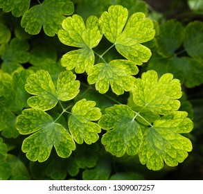 Compound leaves of Aquilegia (or columbine flower plant) background