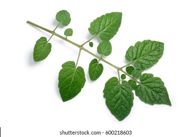 Compound tomato leaf (Solanum pimpinellifolium). Top view, clipping paths, shadow separated