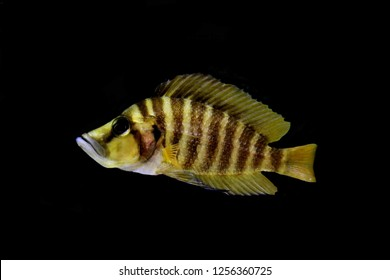 A compressed Cichlid (Altolamprologus compressiceps) is a species of fish in the Cichlidae family, endemic to the shallow rocky areas of Lake Tanganyika in eastern Africa. It is a predatory fish.