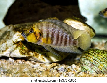 Compressed cichlid fish Altolamprologus compressiceps - Shutterstock ID 1637571826