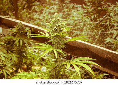 Compton Cannabis Organic Grow OP