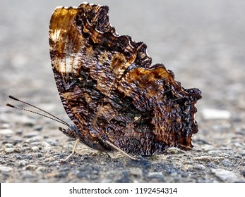 A compton tortoiseshell butterfly sits on a sidewalk in central Kanagawa Prefecture, Japan.