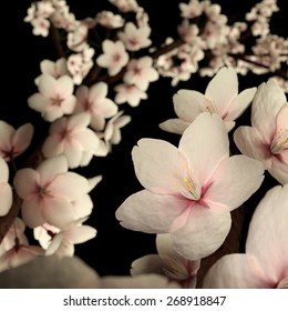 Computer generated imagery of cherry blossom or sakura flower isolated on the black background.  The subject is back lit to reveals its beautiful pinkish translucency.