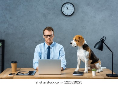 concentrated businessman in eyeglasses working on laptop while beagle sitting near on table in modern office