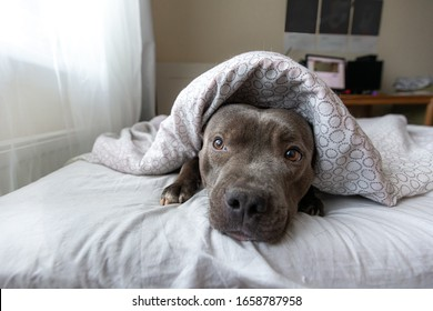 Concentrated young amstaff dog looking at camera while resting on bed under blanket in apartment