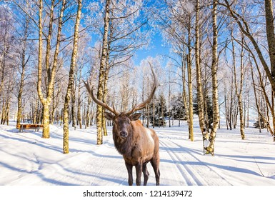 Concept of active and ecological tourism. Journey to Santa Claus. Magnificent reindeer with branched horns on ski road in the snow-covered aspen grove