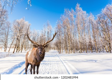 Concept of active and ecological tourism. Magnificent reindeer on ski road in the snow-covered aspen grove. Journey to Santa Claus