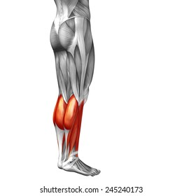 Concept conceptual 3D back lower leg human anatomy or anatomical muscle isolated on white background, metaphor to body, tendon, fit, foot, strong, biological, gym, fitness, skinless, health or medical