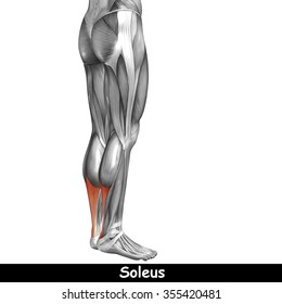 Concept or conceptual 3D human lower leg anatomy or anatomical and muscle isolated on white background metaphor to body, tendon, fit, foot, strong, biological, gym, fitness, skinless, health medical