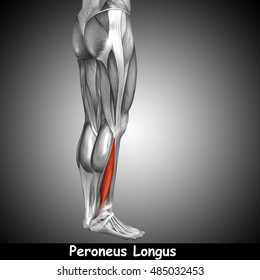 Concept or conceptual 3D illustration human lower leg anatomy or anatomical and muscle on gray background metaphor to body, tendon, fit, foot, strong, biological, gym, fitness, health medical
