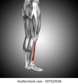 Concept or conceptual 3D illustration human lower leg anatomy or anatomical and muscle on gray background metaphor to body, tendon, fit, foot, strong, biological, gym, fitness health medical