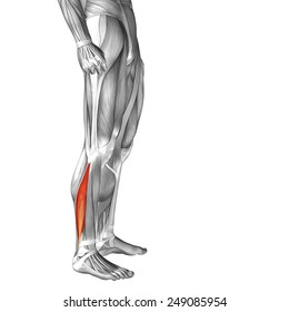 Concept or conceptual 3D peroneus or fibularis longus, anatomical muscle isolated on white background, metaphor to body, tendon, fit, foot, strong, biological, gym, fitness, skinless, health medical