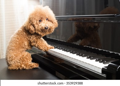 Concept of cute poodle dog seated and prepared to play upright grand piano at home