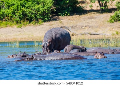 The concept of extreme and exotic tourism in Okavango Delta, Chobe National Park, Botswana. Huge herd of hippos resting in cool waters of the river