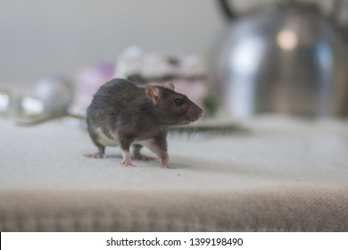 The concept of fear of a rat. Gray mouse. Dark rat on white. Phobia in front of mice. They are afraid of rats.