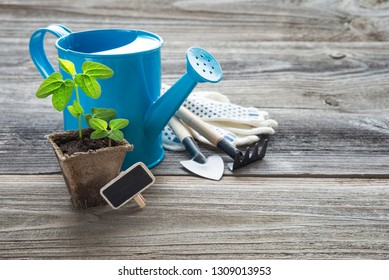 Concept of gardening: green shoots of seedlings in a peat pot, blue watering can, rake and shovel on a wooden background, with space for text