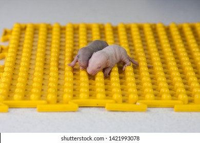 The concept of helplessness. Newborn baby rats on a yellow background. Little bald blind mice. Decorative rodents.