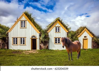 The concept of the historical and cultural tourism. Rural pastoral. Sleek Icelandic horse grazes on a green lawn. Ethnographic Museum-estate Glaumbaer, Iceland