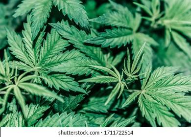 The concept of Indoor grow marijuana. marijuana for recreational purposes.