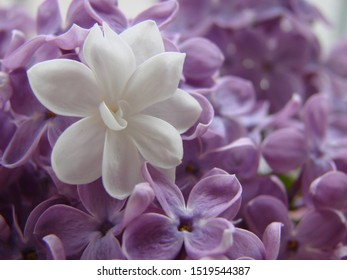 Concept of leader,or differentiation. Purple lilac flowers as a background, Syringa vulgaris