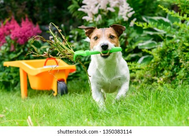 Concept of open and safe for pets garden with dog cleaning weeds with rake