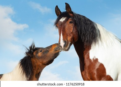 Concept: Pinto shetlend pony kisses big saddle horse