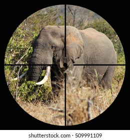 Concept of a protected African elephant in wild seen in the crosshairs of the scope of a hunter or poacher's rifle.