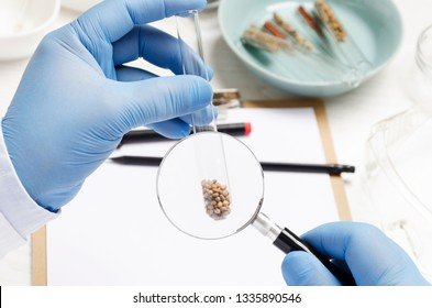 Concept of researching of new kind of seed at the agro laboratory.Man holding magnifying glass and exploring the quality of seeds