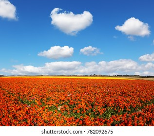 Concept of rural tourism and agrotourism. Fluffy clouds over field of luxury garden buttercups. The kibbutz in the south of Israel