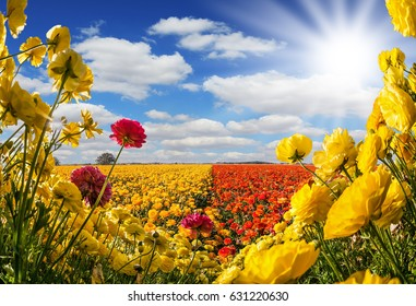 Concept of rural tourism. The southern warm sun illuminates the flower fields of red and yellow garden buttercups- ranunculus. Wind drives the clouds. Collage