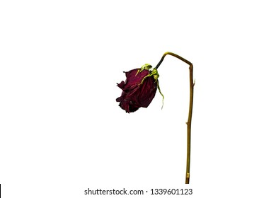 Concept of sadnss, heart-broken, lonelyness. Dired rose isolated. The rose is going to be dead
