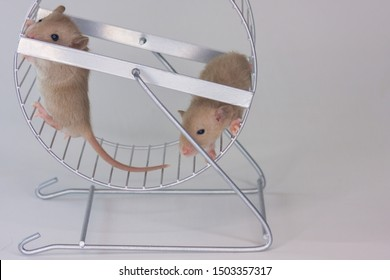 The concept of sport. Rats run in the wheel. Mice spin a special wheel for rodents.