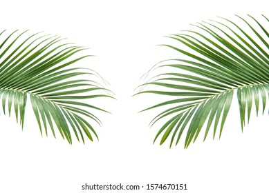 Concept texture leaves abstract green nature background tropical leaves coconut isolated on white background