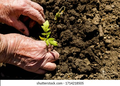 The concept of transferring life from old to young, old age and youth, birth rate and life. Old wrinkled hands of an old woman plant young tomato seedlings in the ground in spring on a Sunny day.