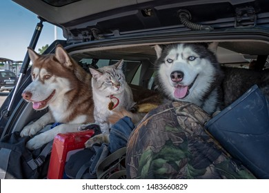 Concept of traveling with pets in the car. Husky dogs and a siamese cat with blue eyes in a luggage-filled car trunk.