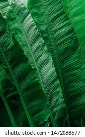 Concept of tropical banana leaves in lush gardens, large palm leaves