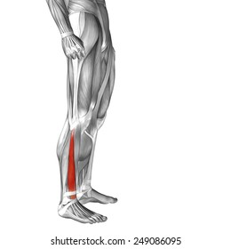 Conceptual 3D extensor digitorum longus, anatomical and muscle isolated on white background, metaphor to body, tendon, fit, foot, strong, biological, gym, fitness, skinless, health medical