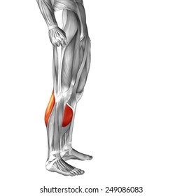 Conceptual 3D gastrocnemius human lower leg anatomy or anatomical muscle isolated on white background, metaphor to body, tendon, fit, foot, strong, biological, gym, fitness, skinless, health medical