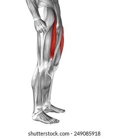 Conceptual 3D rectus femoris human upper leg anatomy or anatomical muscle isolated on white background, metaphor to body, tendon, fit, foot, strong, biological, gym, fitness, skinless, health medical